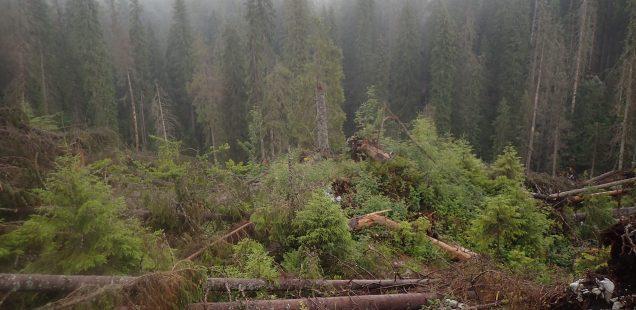 Der politische Wald - Proteste gegen illegalen Holzeinschlag in Rumänien